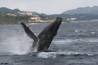 【美ら海水族館近く!北部発】ホエールウォッチングプラン♪●全額返金保証●地域最安値♪●クジラ遭遇率98%●43定員の大型船♪●ウェルカムドリンク・ホエールガイドブック・体験写真を無料でプレゼント♪