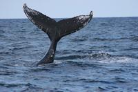 【セットでお得】ホエールウォッチング+ボートシュノーケル★●全額返金保証 ●クジラ遭遇率98% ●43定員の大型船♪ ●ウェルカムドリンク●ホエールガイドブック●体験写真を無料でプレゼント♪
